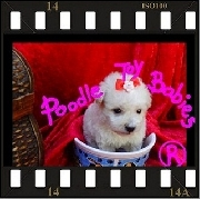 ESPECIALIZADO em Poodles  Lovpuppies kennel