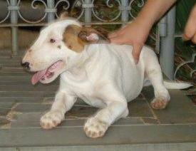 Bull Terrier a venda - Canil Filhotes On Line BH